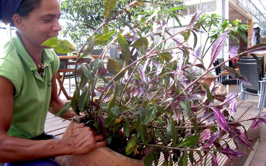 Handama (Okinawa Spinat) (Pflanze)