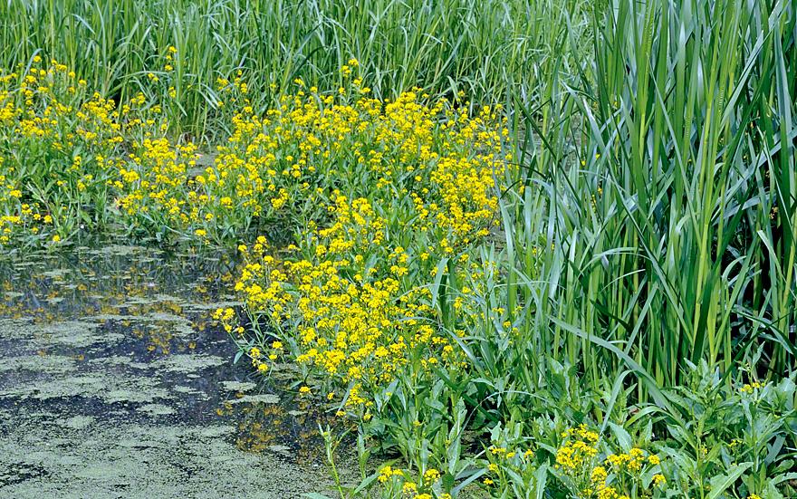 Wild wachsend am Teichrand