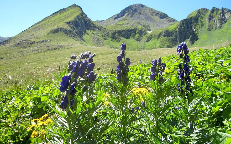 Blauer Eisenhut (Saatgut)