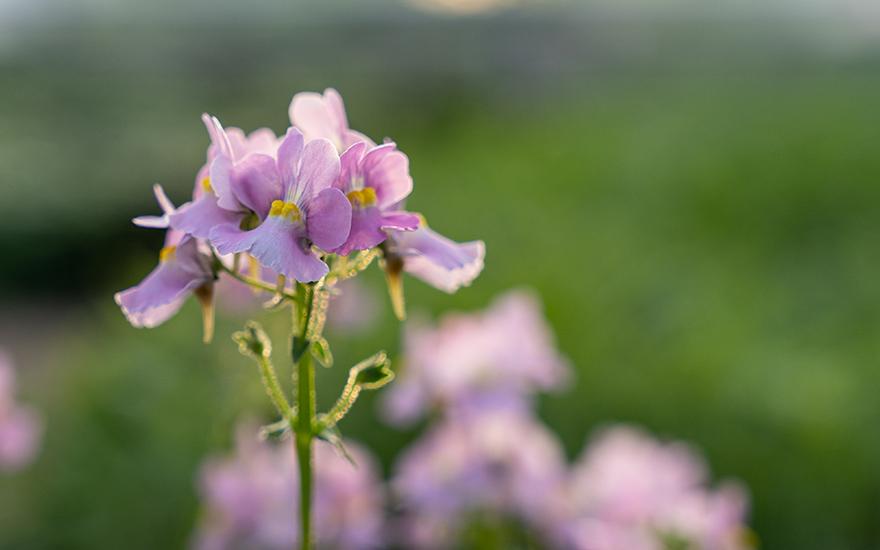 Duft-Nemesie 'Karoo Pink' (Pflanze)