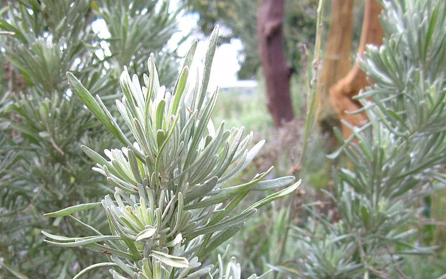Indianischer Salbeistrauch (Pflanze)