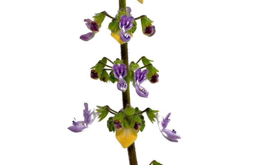 Rosen-Weihrauch (Pflanze)