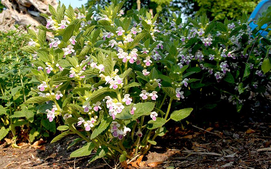 Immenblatt 'Royal Velvet Distinction'® (Pflanze)