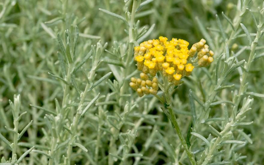 Italienischer Currystrauch (Pflanze)