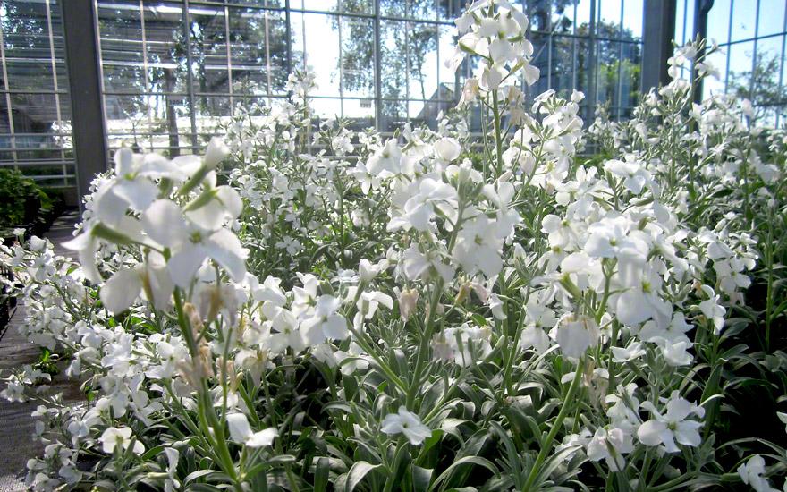 Strauch-Levkoje (Pflanze)