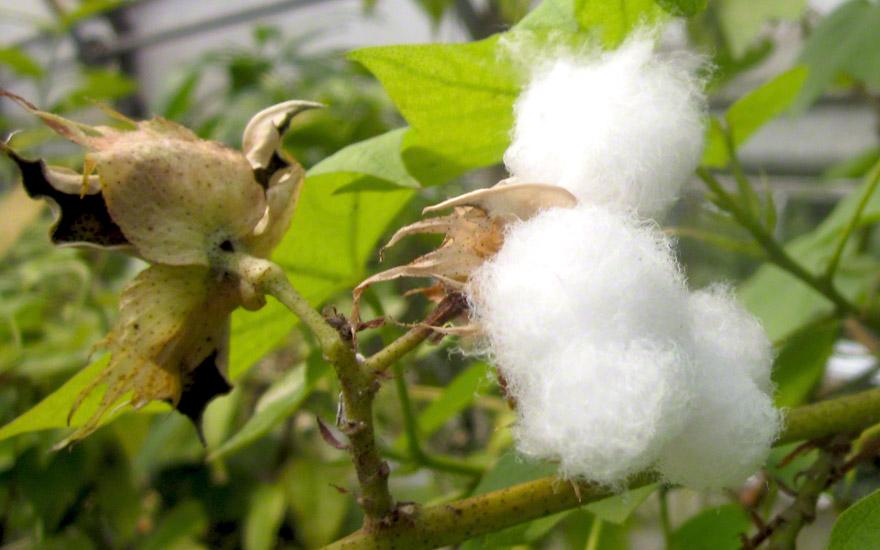 Baumwolle, asiatisch (Pflanze)