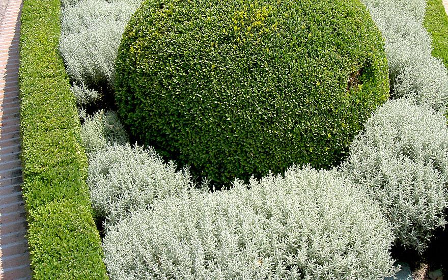 Zypressenkraut, kompakt (Pflanze)