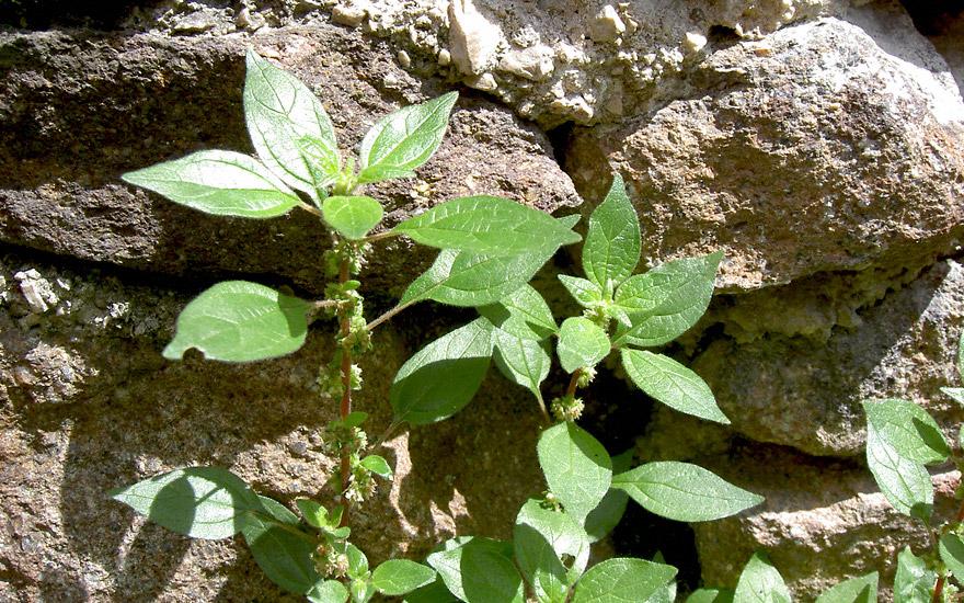 Glaskraut, niederliegend (Pflanze)