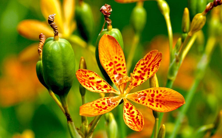 Leopardenblume (Saatgut)