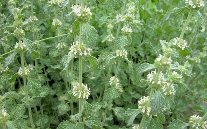 Andorn (Pflanze)