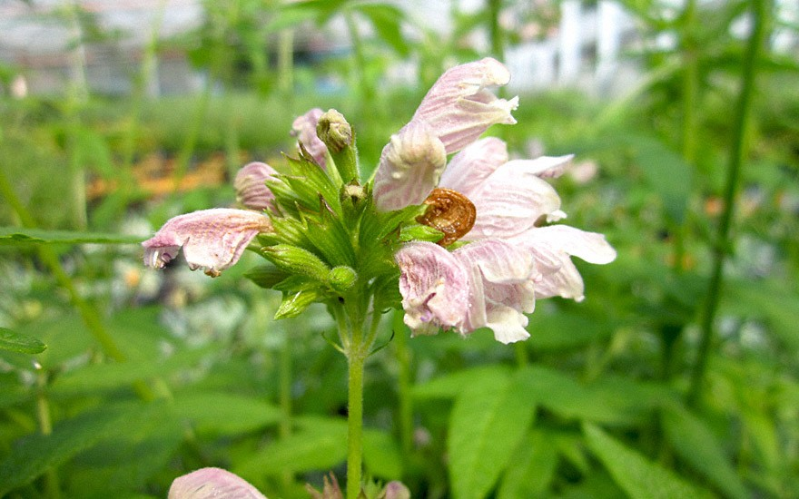 Balsamstrauch 'Gomera' (Pflanze)