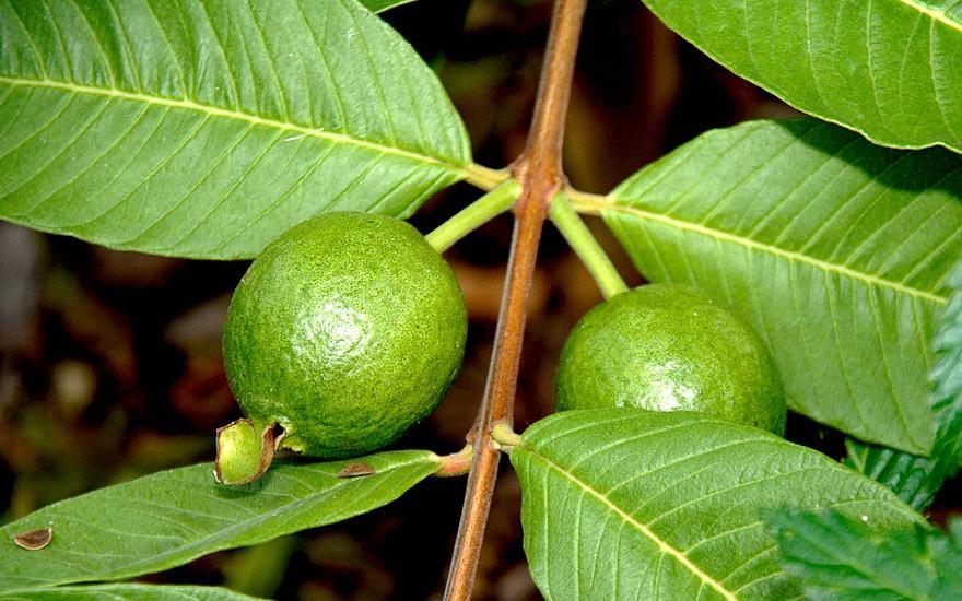 Guave (Saatgut)
