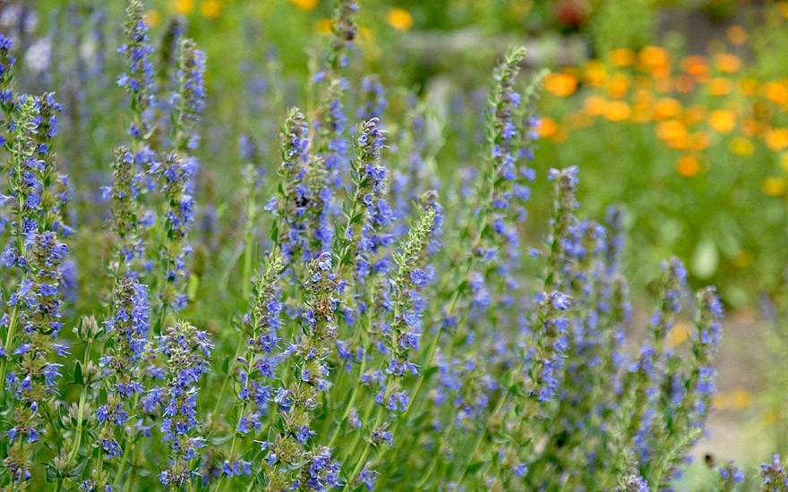 Ysop, blau blühend (Pflanze)