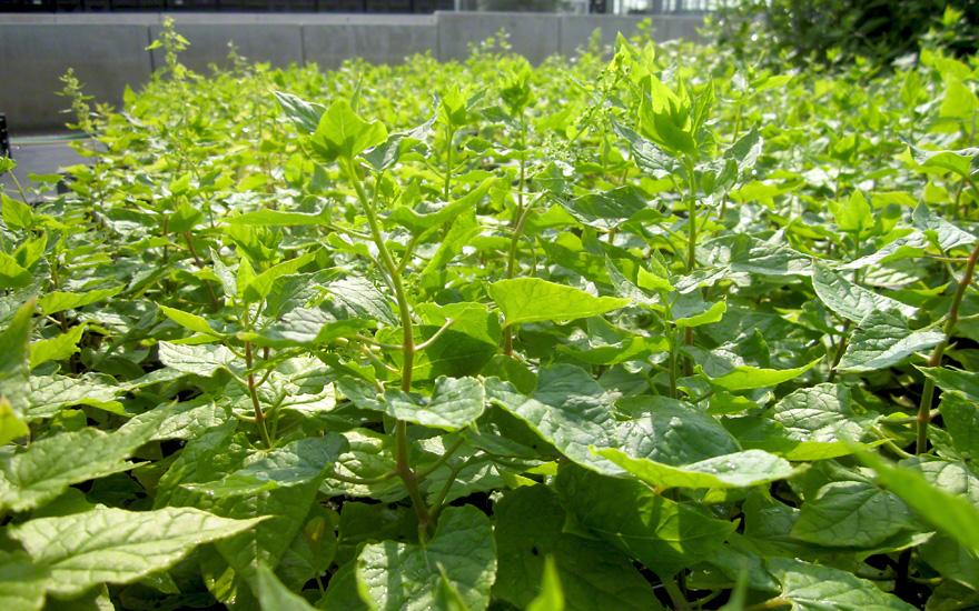 Kaukasischer Rankspinat (Pflanze)