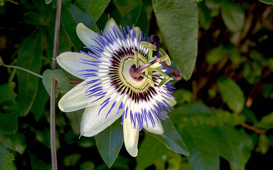 Passionsblume, essbar (Pflanze)