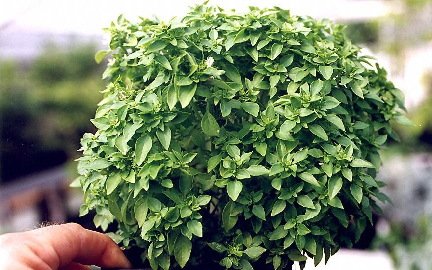 Griechisches Buschbasilikum (Pflanze)