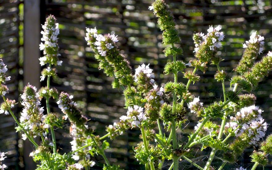 Krausemünze (Pflanze)