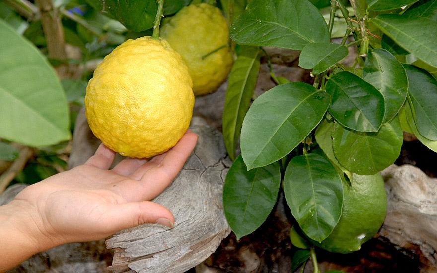 Zitrone 'Ponderosa' (Pflanze)