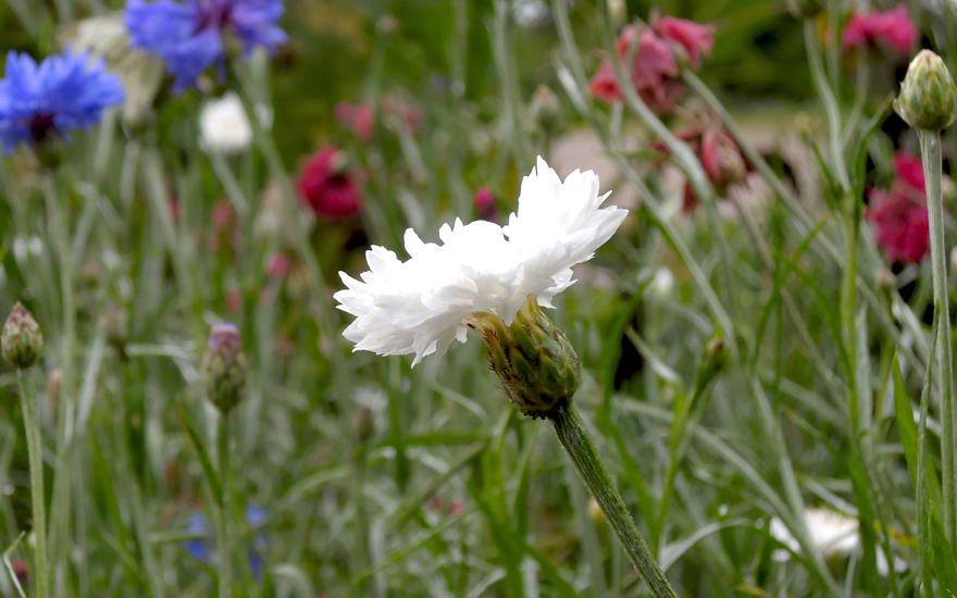 Kornblume, weiß blühend (Saatgut)