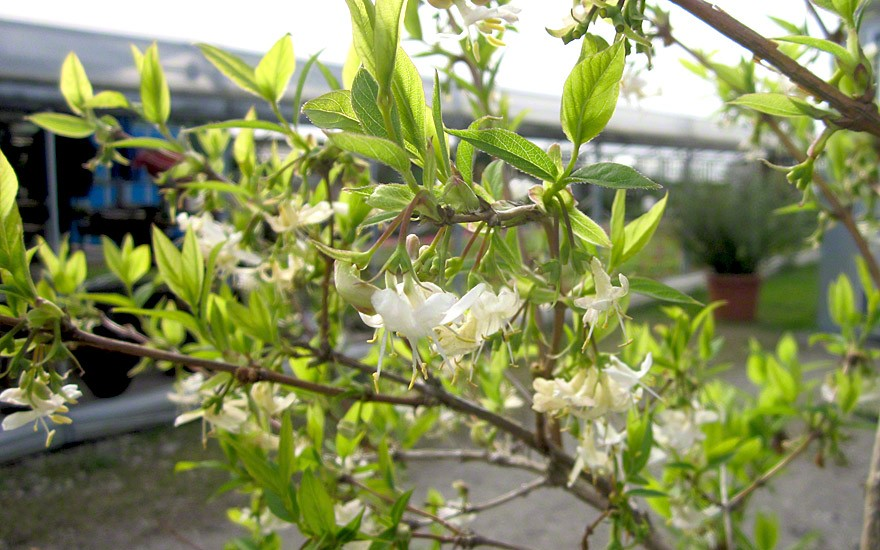 Strauch-Geißblatt (Pflanze)