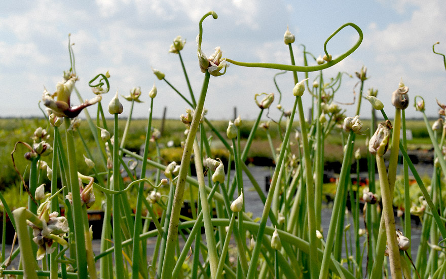 Luftzwiebel (Pflanze)