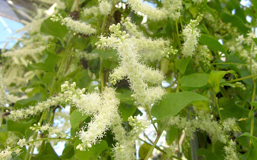 Peru-Portulak (Pflanze)