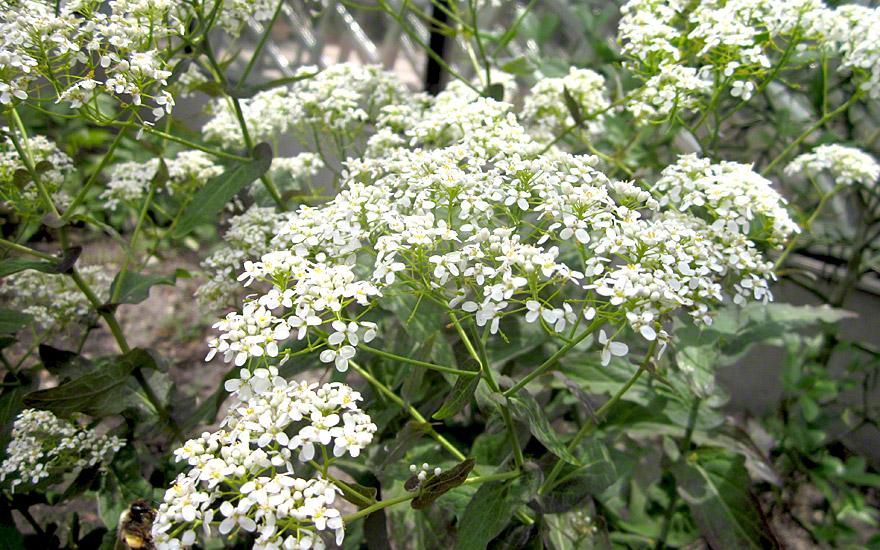 Lauch-Scheibenschötchen (Pflanze)