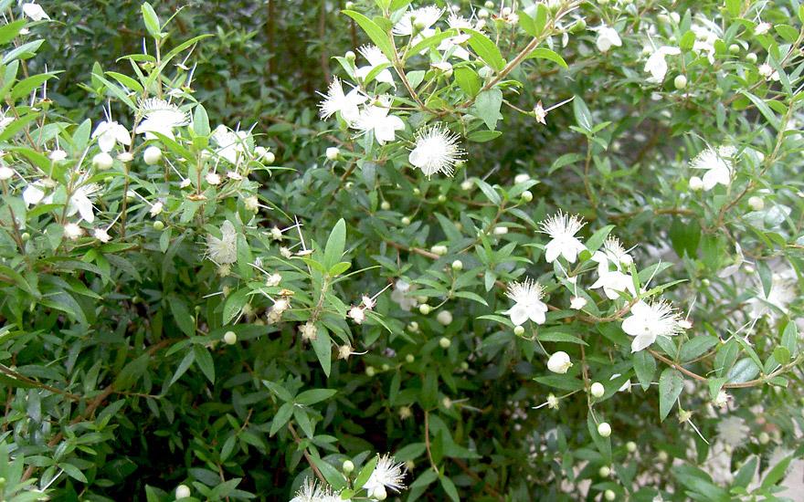 Brautmyrte (Pflanze)