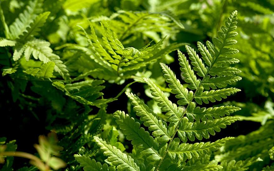 Wurmfarn (Pflanze)