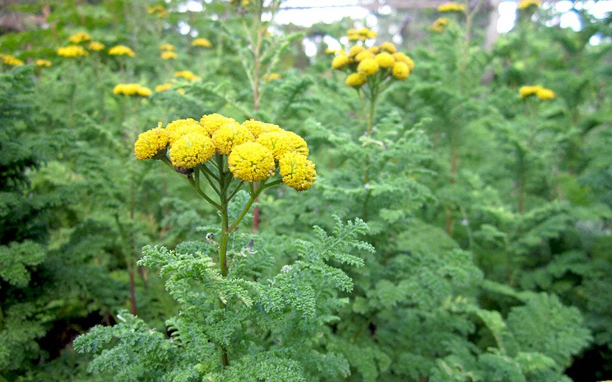 Likörraute (Pflanze)