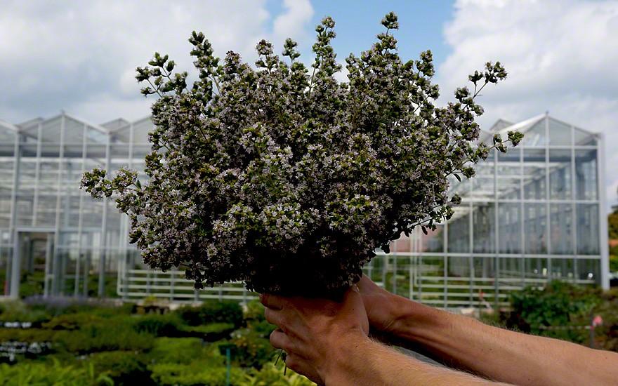 Dicht mit Blüten besetzt auch geeignet als Vasenschmuck