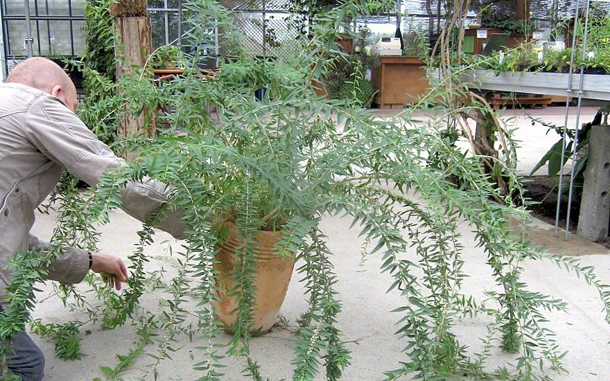 Argentinischer Minzestrauch (Pflanze)
