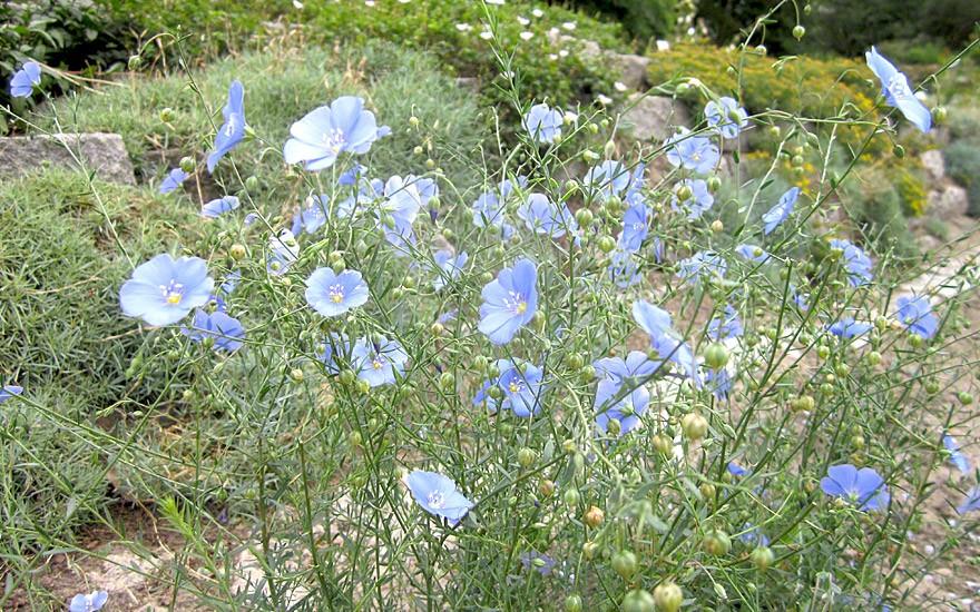 Blauer Staudenlein (Pflanze)
