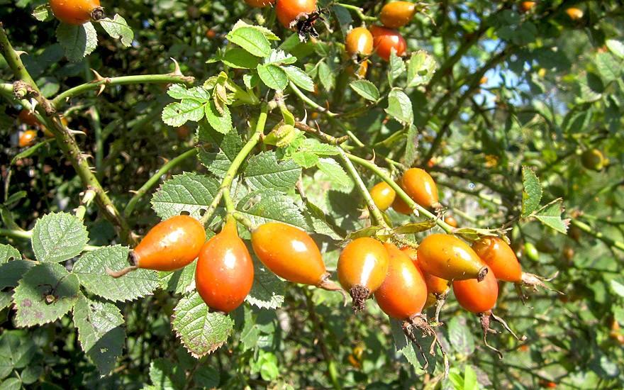 Weinrose (Pflanze)