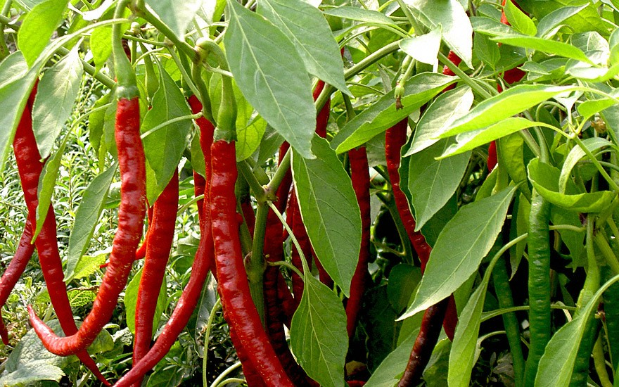 Chili 'Cayenne' (Saatgut)