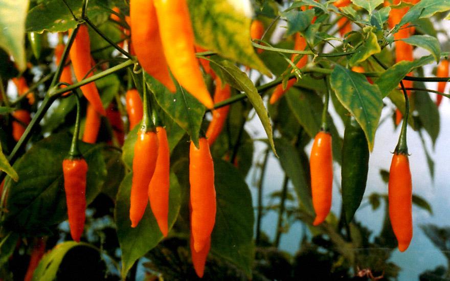 Chili 'Criolla Sella' (Saatgut)