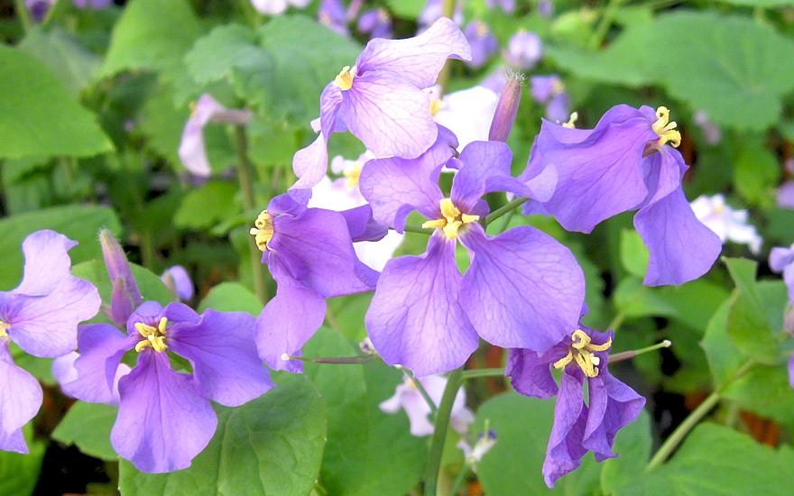 Japanische Blütenkresse (Saatgut)