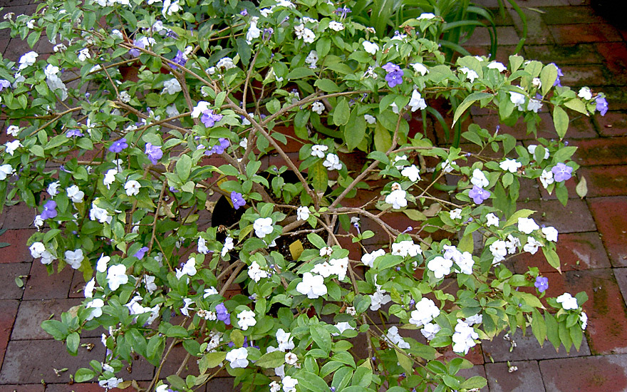Manaka (Pflanze)