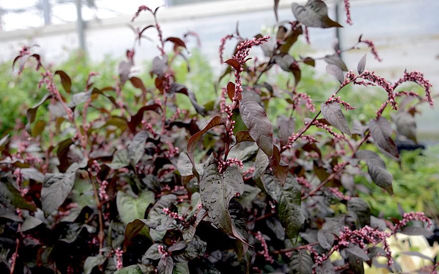 Wasserpfeffer, ausdauernd (Pflanze)