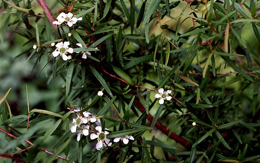 Zitronenmyrte, neuseeländisch (Pflanze)
