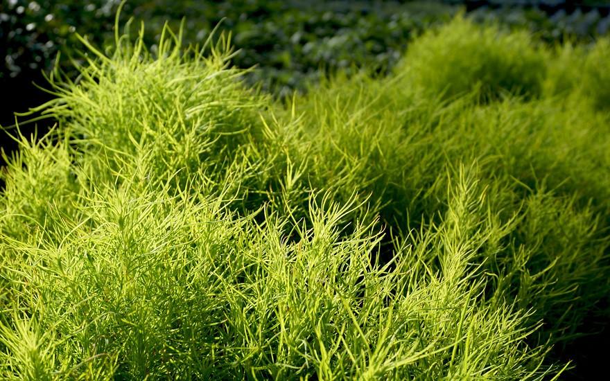 Sommer-Zypresse (Saatgut)