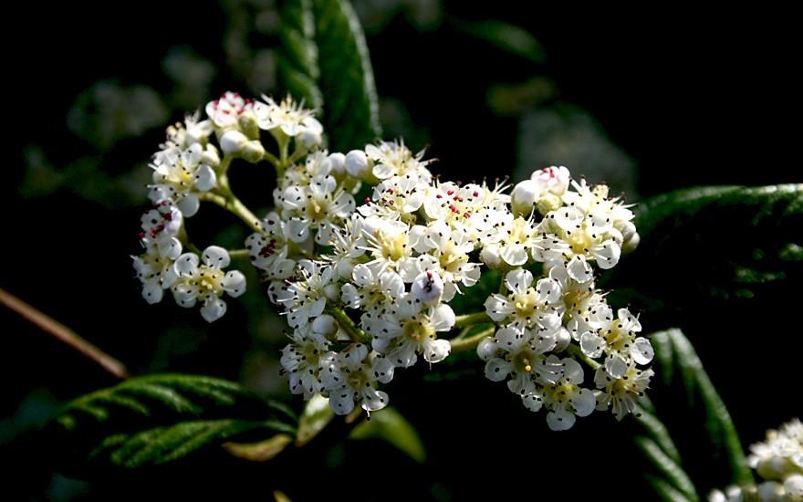 Weidenblättrige Hängemispel (Pflanze)
