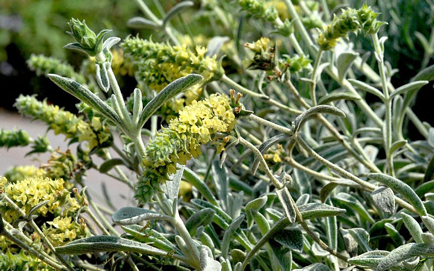 Berühmt Griechischer Bergtee (Pflanze) - Sideritis syriaca | Aroma &UI_13