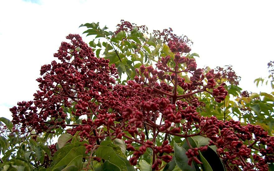 Fruchtstand im Herbst