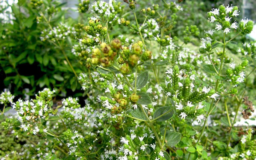 Syrischer Oregano (Zatar) (Pflanze)