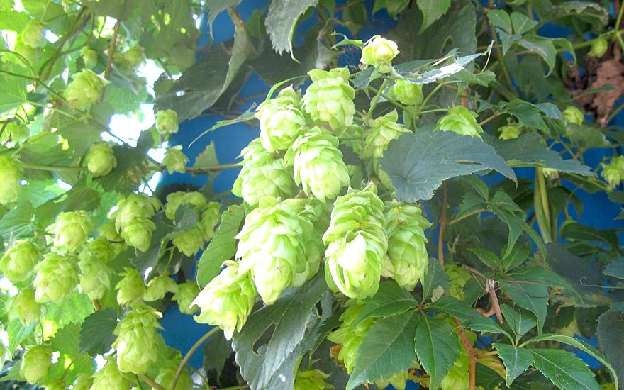 Bierhopfen 'Fuggle' (Pflanze)