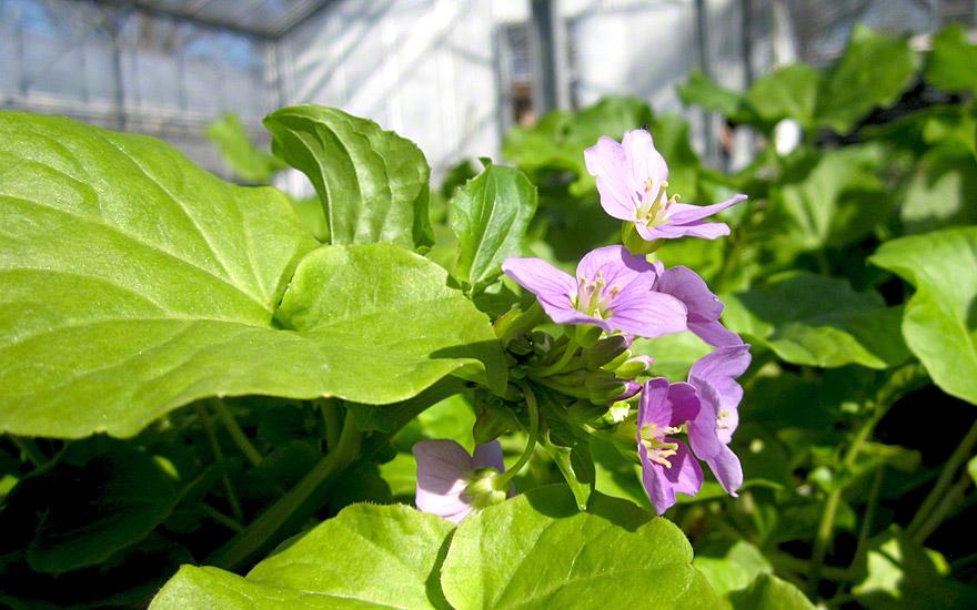 Kresse-Schaumkraut (Pflanze)