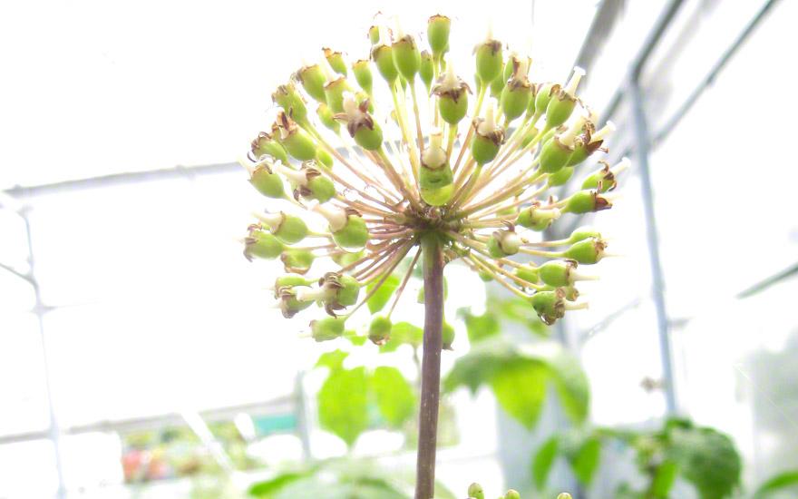 Sibirischer Ginseng (Saatgut)