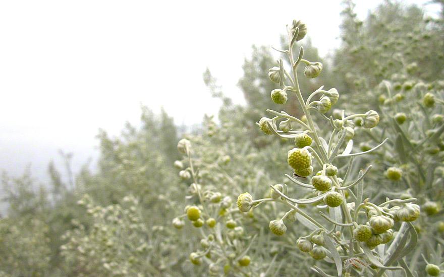 Wermut (Pflanze)