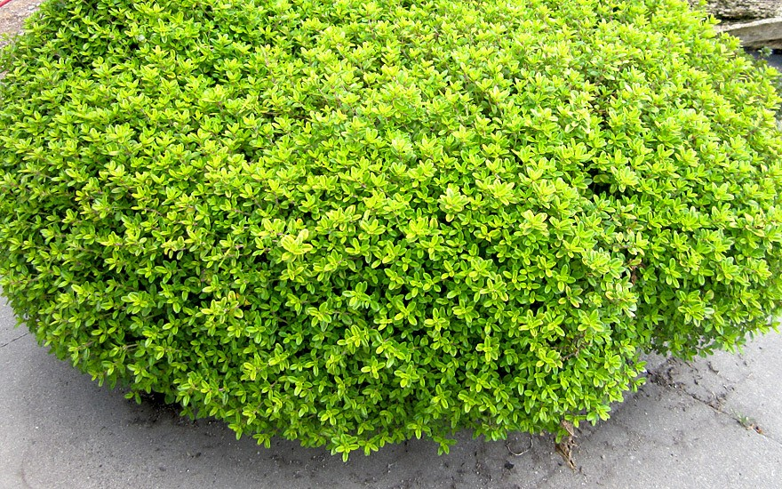 Thymian 'Golden Dwarf' (Pflanze)